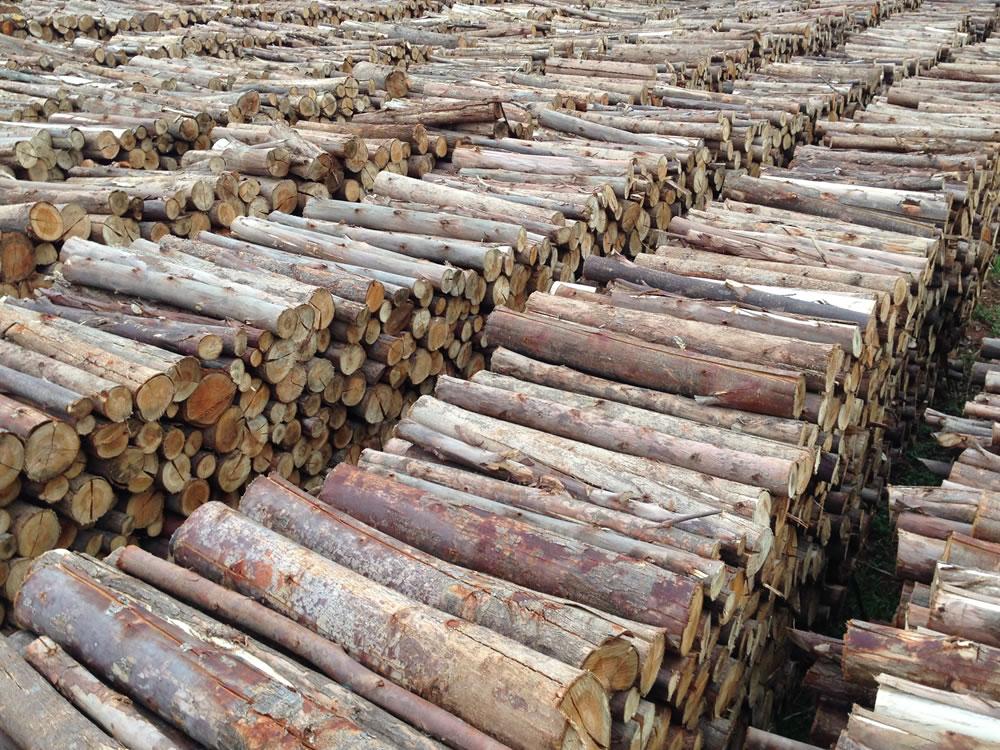 Imagem de Rio Verde é o segundo maior produtor de lenha de eucalipto do Brasil